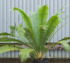 Giant Dioon