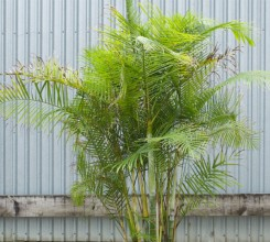 Sugar Cane Palm