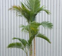Jucara Palm