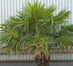 Australian Cabbage Palm