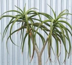 Tree Aloe - Palm