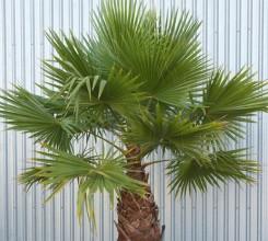 Cotton Palm