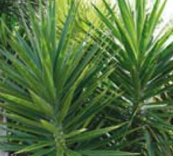 Soft Tipped Yucca