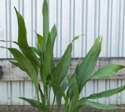 Cast Iron Plant - Palm