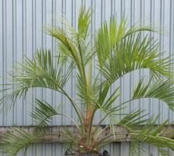 Jelly Palm