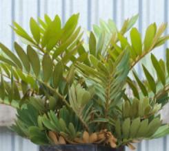 Century Plant - Palm